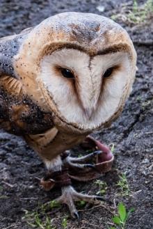 Malbork - ptaki drapieżne
