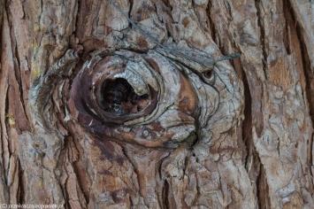 Klasztor Studenica - pień drzewa