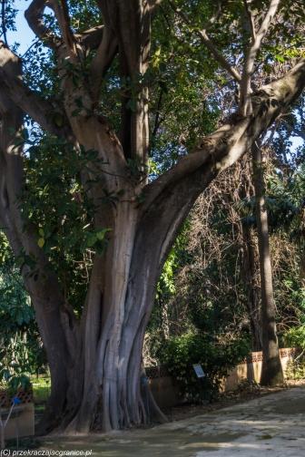 Palermo - fikus w Ogrodzie Botanicznym